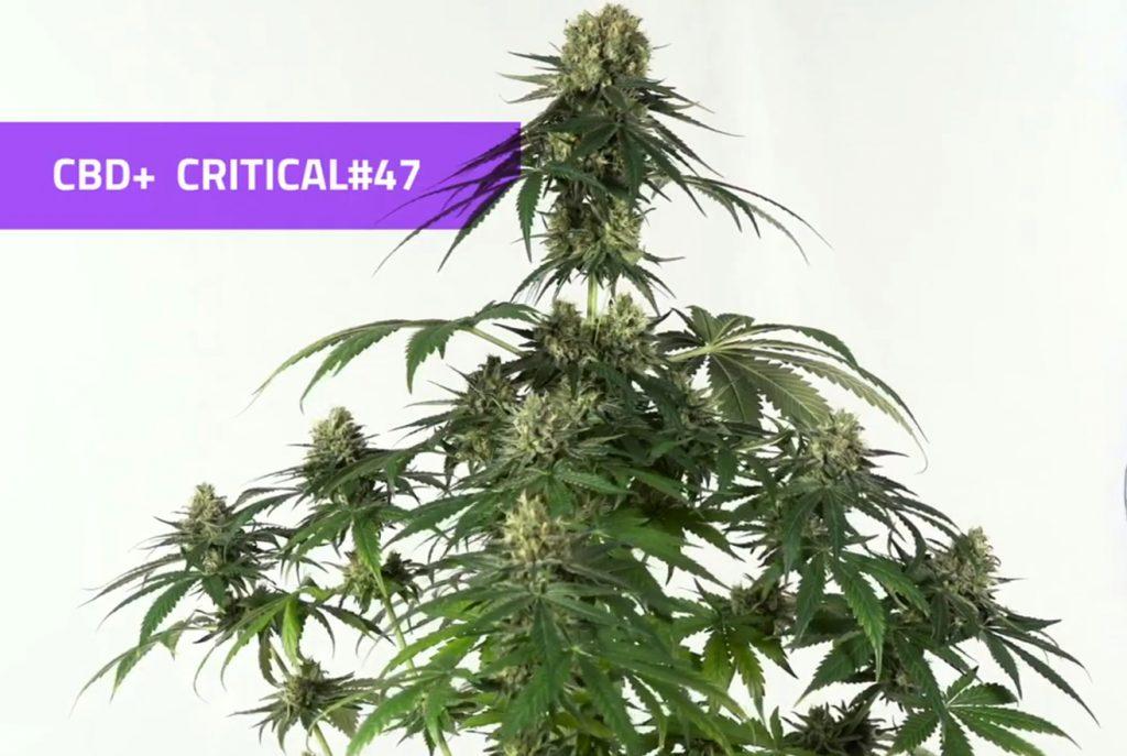 planta cbd critical 47 positronics seeds