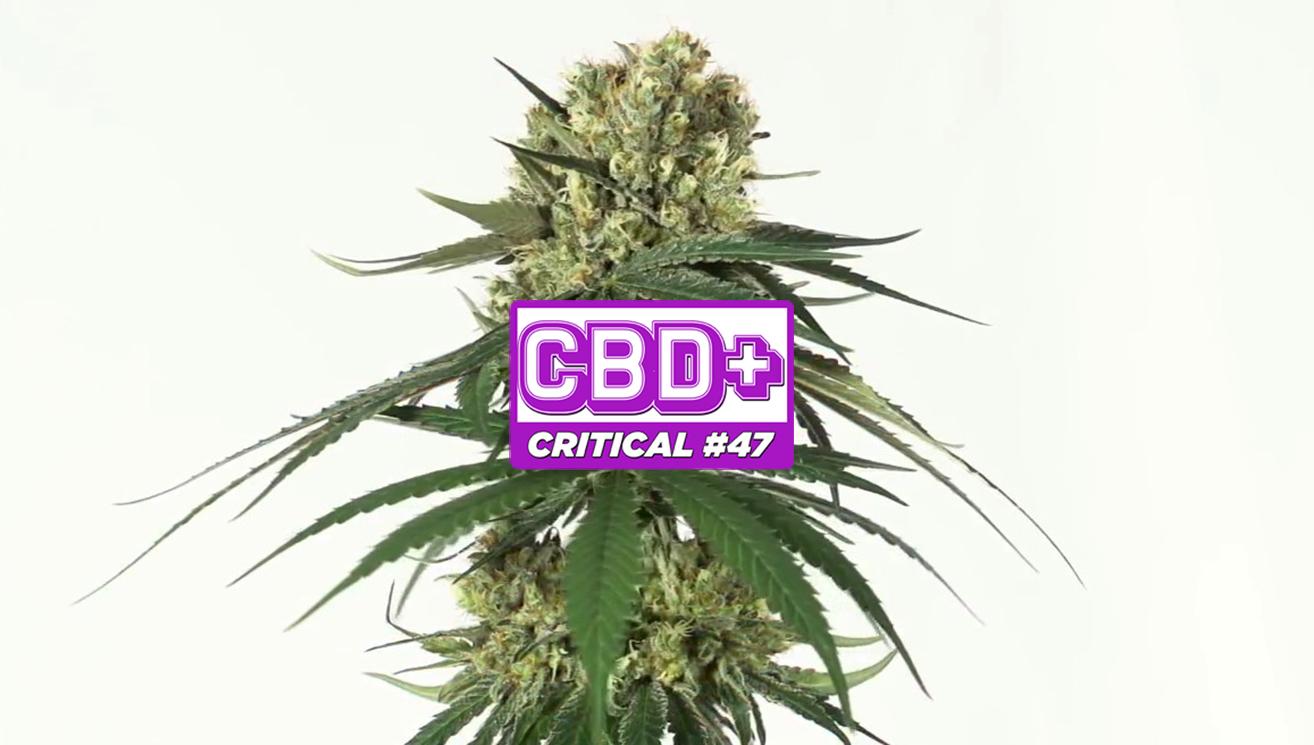 cbd-critical-47-positronics-seeds