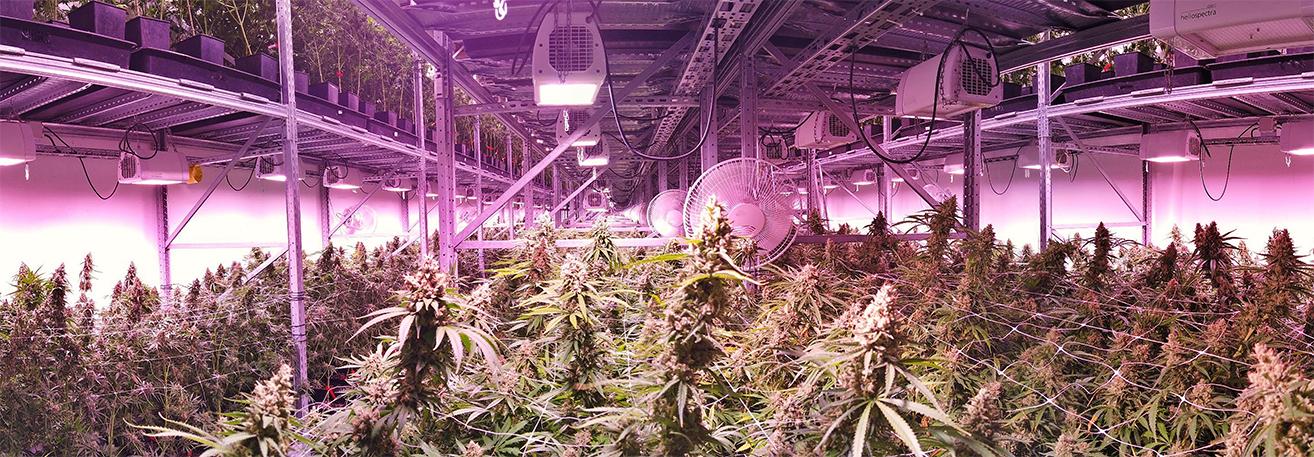 empresas con licencia para el cultivo de marihuana en España