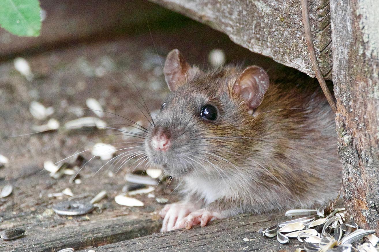 """4 ratas """"se comen"""" 500kg de marihuana en Argentina"""
